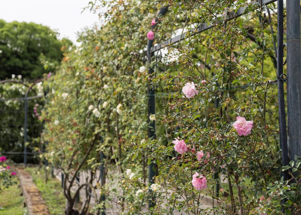Ruusupuutarha2_2