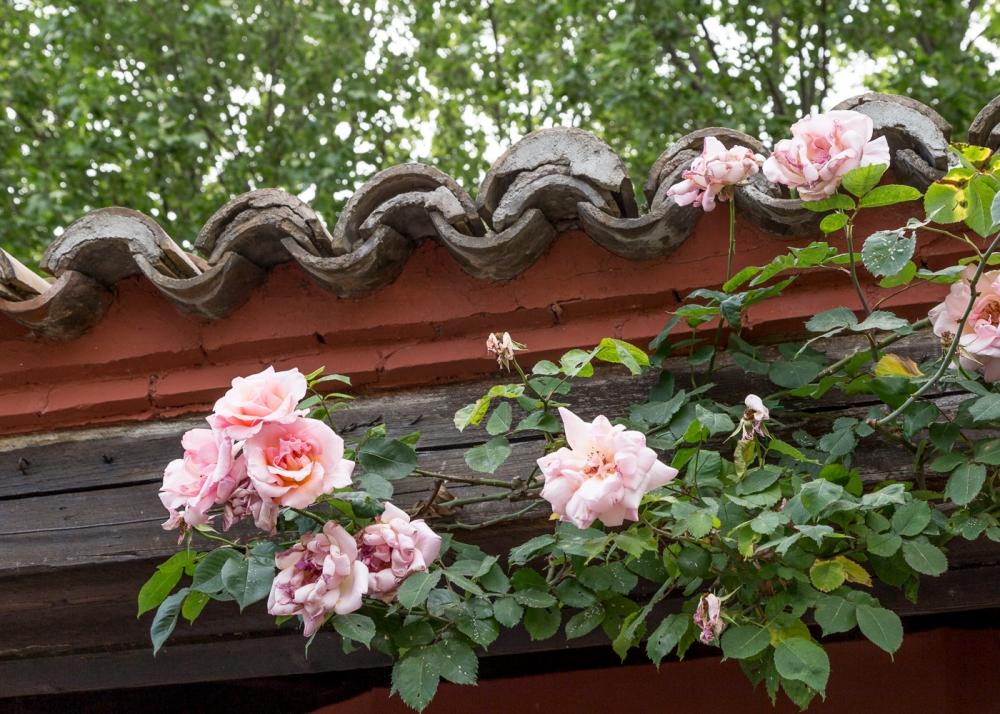 Ruusupuutarha2_5