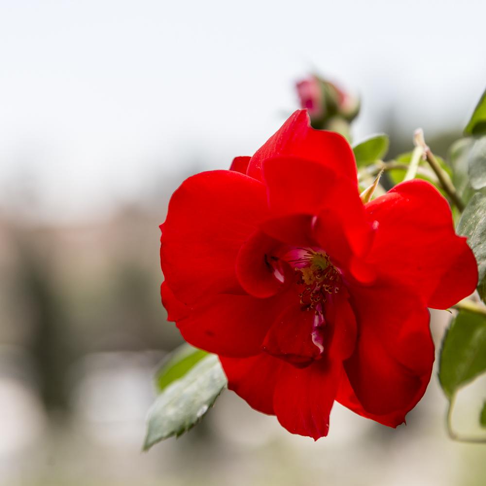 Ruusupuutarha2_6