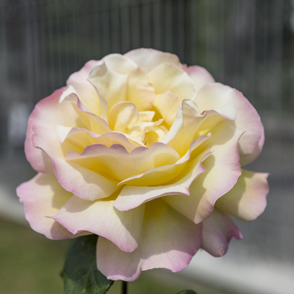Ruusupuutarha_1