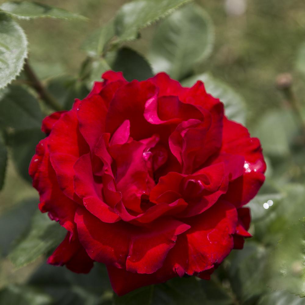 Ruusupuutarha_10