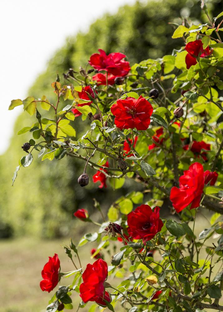 Ruusupuutarha_3