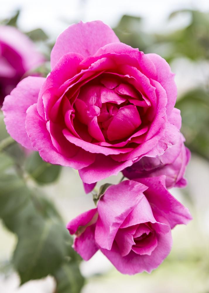 Ruusupuutarha_5