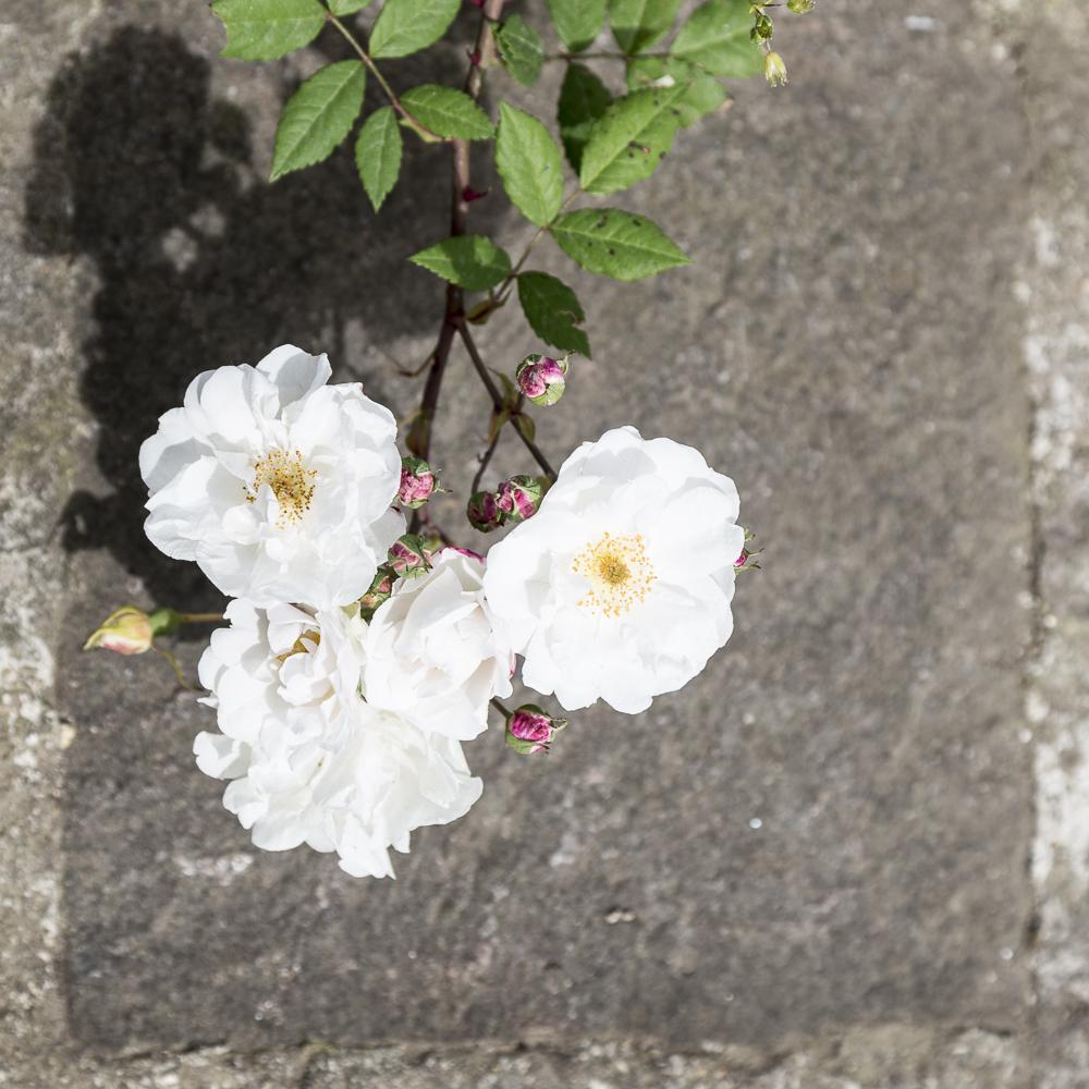 Ruusupuutarha_6