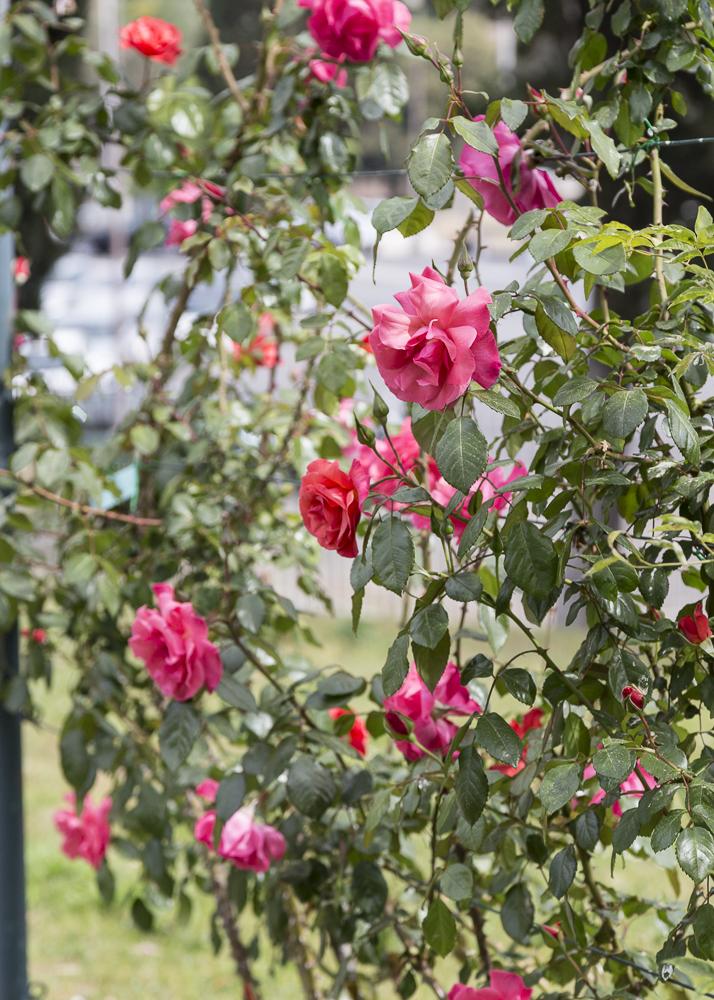 Ruusupuutarha_7