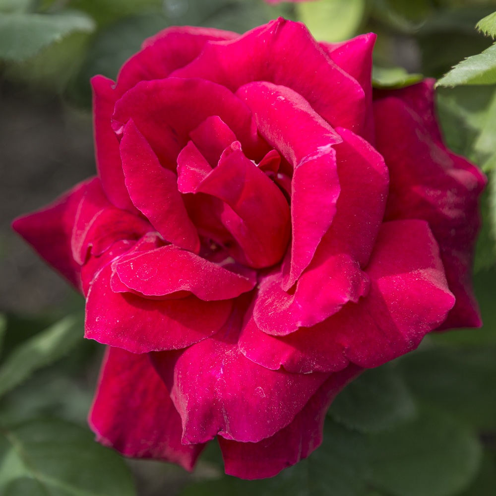 Ruusupuutarha_9